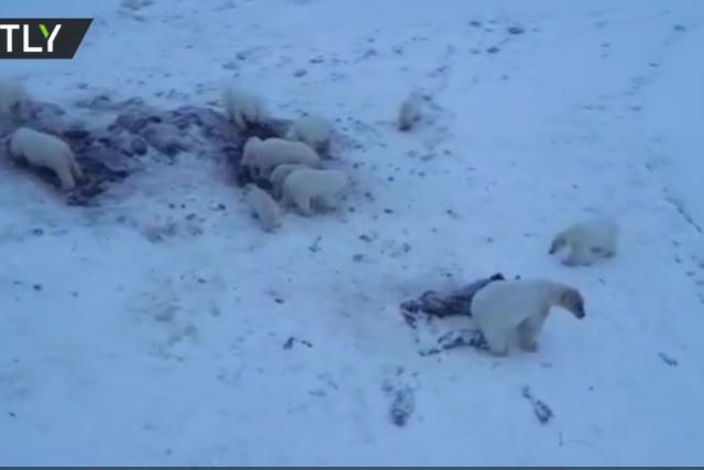 'Bearpocalypse': WATCH dozens of polar bears besiege Arctic village in Russia's Chukotka