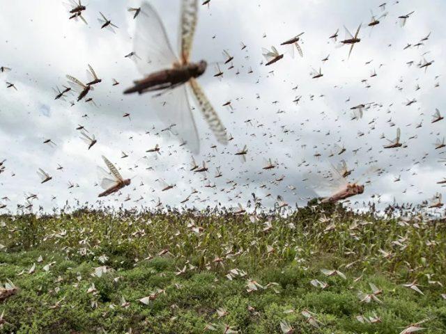 Brazil Declares Crop Emergency Bracing for a Biblical Plague of Locusts