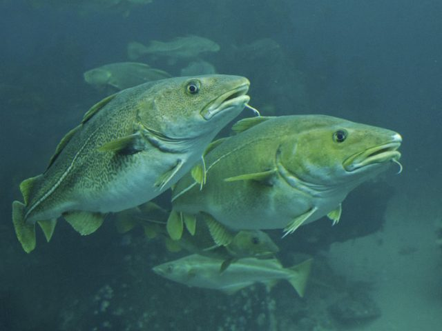 Fishy excuse? Denmark could use SPAWNING COD to delay construction of Russian gas pipeline to Europe