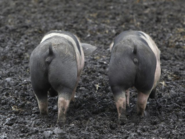 China blocks German pork imports over African swine fever