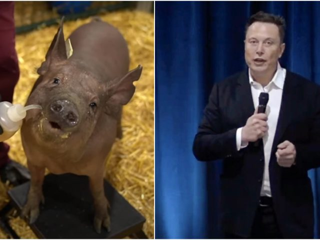 High-tech dystopia or evolution leap? Elon Musk rolls out working Neuralink brain implant prototype embedded in live pig (VIDEO)