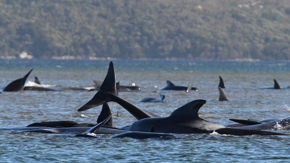 380 pilot whales
