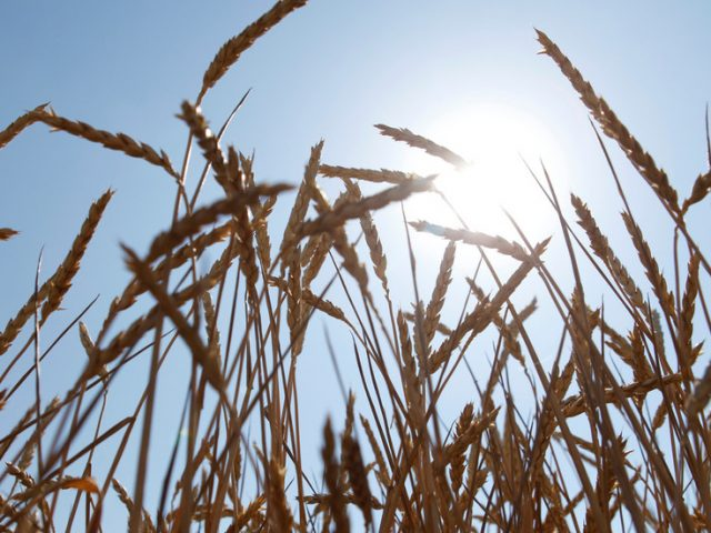 Russia gets closer to new wheat harvest record thanks to surging grain yields
