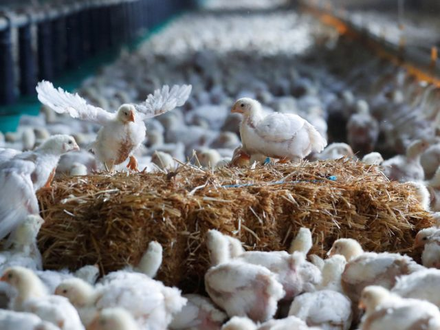 Belgium culls 151,000 chickens after Europe's latest bird flu outbreak on farm near French border