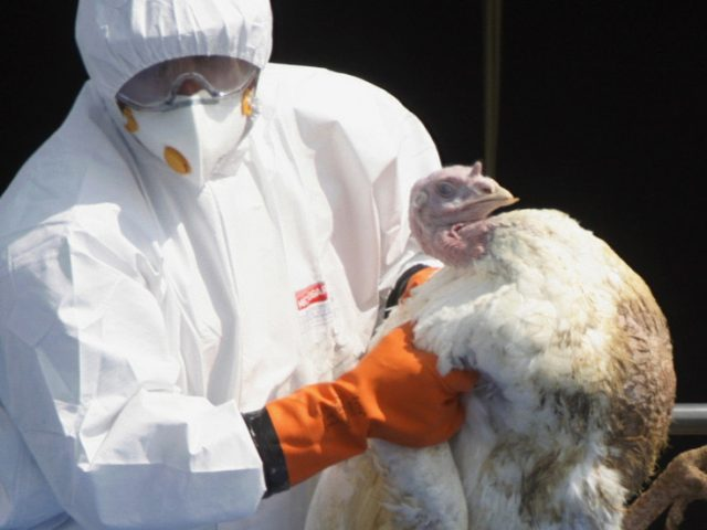English farm to cull 10,500 turkeys as concern grows over wave of bird flu from Europe