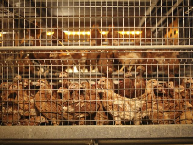 Dutch slaughter 190,000 chickens following highly-contagious bird flu break-out at poultry farms