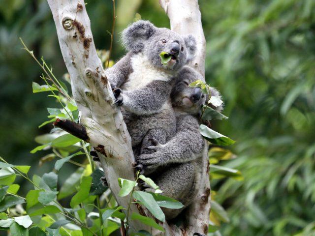 Australia's 2019 bushfire crisis killed or harmed more than 60,000 koalas — WWF