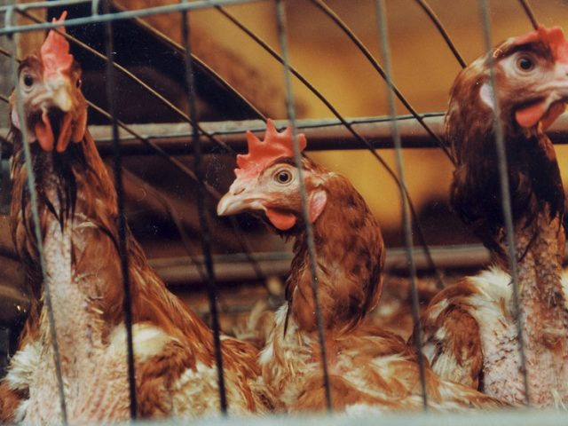 First cases of H5N8 bird flu strain detected in humans: Seven poultry workers in Southern Russia infected, reveals health watchdog