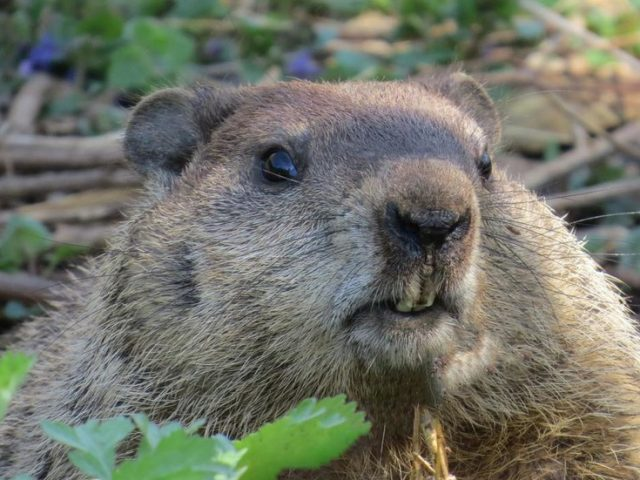 'Uniquely Canadian': Beavers temporarily cut off remote town from the outside world by chewing through fiber optic cable