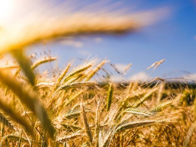 Russia on course to keep global grain supplies high despite export cap