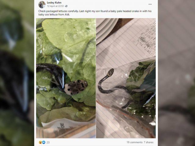 'Never seen anything like this': Shocked Australian finds VENOMOUS SNAKE in Aldi lettuce