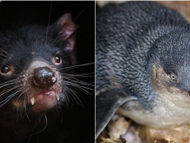 'Catastrophic impact': Tasmanian devils 'wipe out' large penguin colony on Australian island as animal introduction goes wrong