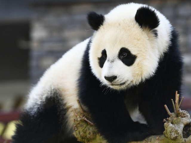 Giant panda no longer on 'endangered' species list as wildlife conditions improve – China's top conservation official