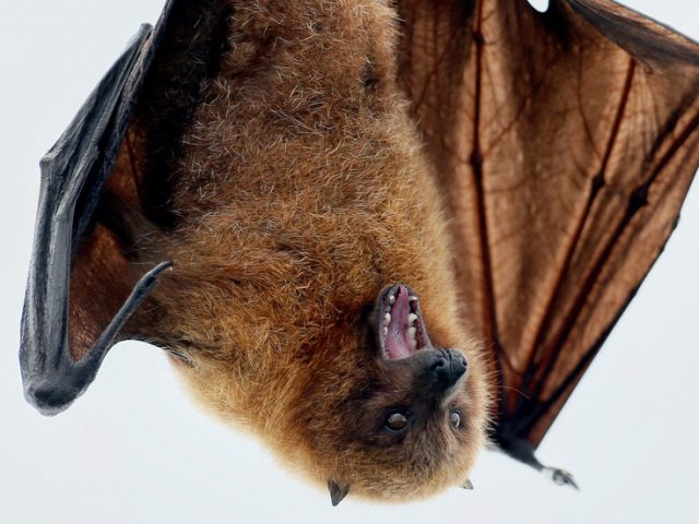 Deadlier than Covid-19, but less contagious: What we know about Nipah bat-borne virus threatening to become new scourge in India
